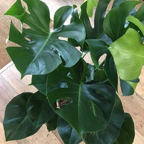 Monstera (large)
